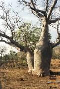 Adansonia gregorii (baobab)
