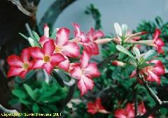 Adenium obesum hybr.