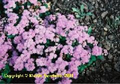 Ageratum mexicanum Blue Horizon