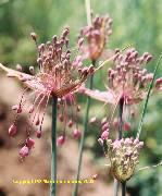 Allium carinatum ssp. pulchelum
