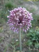 Allium commutatum Brač