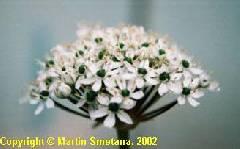 Allium nigrum Pink Jewel
