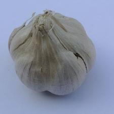 Allium sativum ssp. sativum Anton
