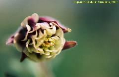 Aquilegia vulgaris Pomponette