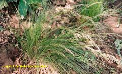 Bellardiochloa variegata