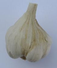 Allium sativum ssp. sativum Benátčan