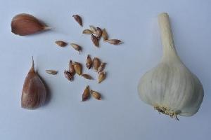 Allium sativum ssp. sagittatum Bjetin