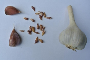 Allium sativum ssp. sagittatum [50 bulbils] Bjetin