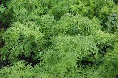 Brassica juncea Golden Frill