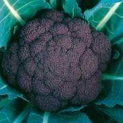 Brassica oleracea convar. botrytis Violet Queen