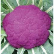 Brassica oleracea convar. botrytis Violetto di Sicilia