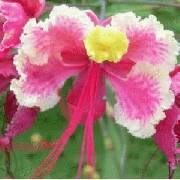 Caesalpinia pulcherrima Mix