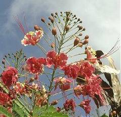 Caesalpinia pulcherrima Pink