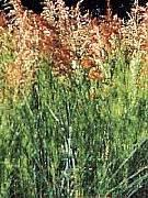 Calopsis paniculata