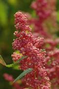 Chenopodium quinoa Cherry Vanilla
