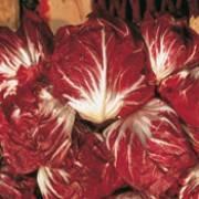Cichorium intybus var. foliosum Rossa di Verona