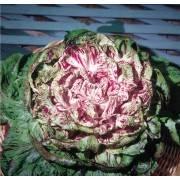 Cichorium intybus var. foliosum Variegata di Castelfranco