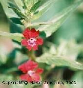 Cuphea lanceolata