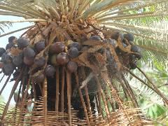 Cycas calcicola