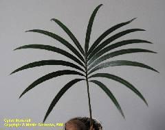 Cycas thouarsii