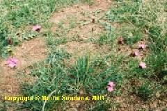 Dianthus carthusianorum ssp. carthusianorum