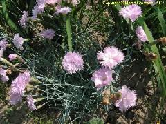Dianthus caryophyllus Pink Flore Pleno