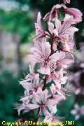 Dictamnus albus Albiflorus