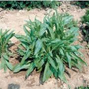 Diplotaxis integrifolia