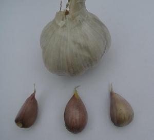 Allium sativum ssp. longicuspis [200 bulbils] Dukát