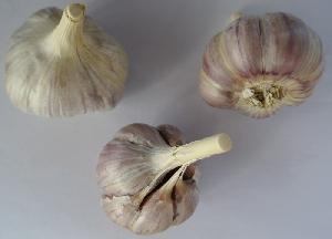 Allium sativum ssp. longicuspis Džambul