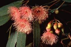 Eucalyptus sieberi