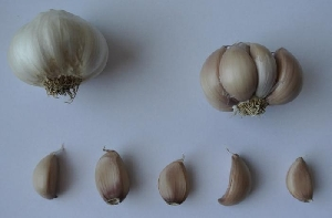 Allium sativum ssp. sagittatum Flavor