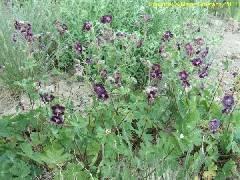 Geranium phaeum Samobar