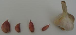 Allium sativum [50 bulbils] Gheorghe Doja