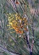 Grevillea juncifolia