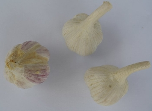 Allium sativum ssp. sagittatum Havel