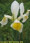 Iris ochroleuca (orientalis)
