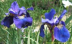 Iris sibirica Big Flower (tetraploid)