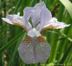 Iris sibirica Rovniny