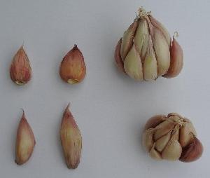 Allium sativum ssp. sativum Japo