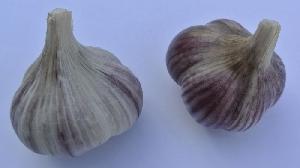 Allium sativum ssp. sagittatum Karel IV.