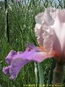 Iris 'Lookout Point'