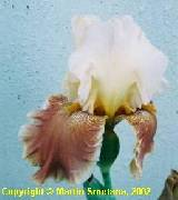 Iris 'Moonlight Sketch' x ('Queen in Calico' x 'Broadway')