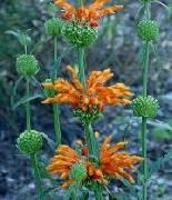 Leonotis leonurus Orange