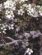 Leptospermum juniperinum