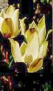 Leucadendron discolor
