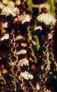 Leucadendron dubium