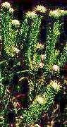 Leucadendron linifolium (4/2019)