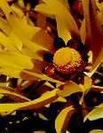 Leucadendron microcephalum