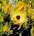 Leucadendron nervosum